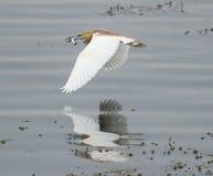 Squacco czapli latanie nad wodą rzeczną Zdjęcie Royalty Free