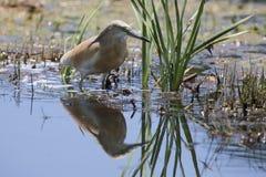 Squacco Czapli polowanie dla jedzenia wśród płoch i wody Obrazy Royalty Free