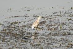 Squacco czapli watować w rzece z traw płochami Fotografia Stock