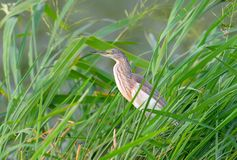 Squacco Heron royaltyfri foto