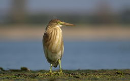 Squacco Heron Stock Photos
