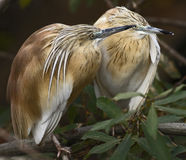 Squacco heron 2 Stock Photo