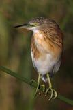 Squacco Heron Royalty Free Stock Image