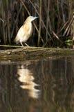 Squacco Heron Stock Photography