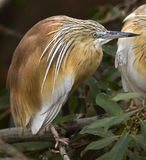 Squacco heron 3 Stock Photo