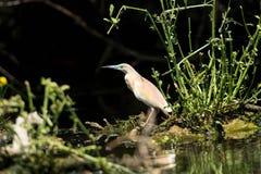 Squacco Heron Royaltyfria Bilder