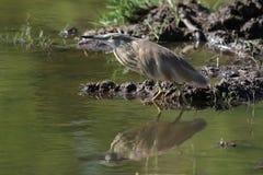 Squacco Heron arkivbilder