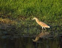 Squacco Heron Royalty Free Stock Photography