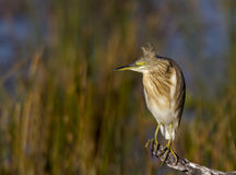 Squacco Heron against a nice background Stock Photography