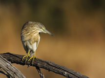 Squacco Heron against a nice background Royalty Free Stock Images