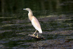Squacco Heron, Ardeola ralloides Stock Photo