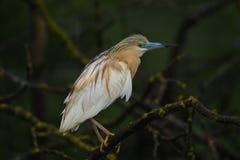 Free Squacco Heron - Ardeola Ralloides Royalty Free Stock Photos - 140500068
