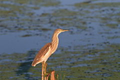 Squacco Heron (Ardeola ralloides) Royalty Free Stock Photo