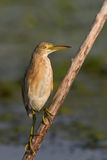 Squacco Heron (Ardeola ralloides) Royalty Free Stock Images