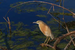 Squacco Heron (Ardeola ralloides) Royalty Free Stock Photos