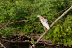 Squacco Heron (Ardeola ralloides) Stock Images