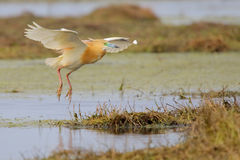 Squacco Heron. Ardeola ralloides. Royalty Free Stock Images