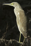 Squacco Heron  / Ardeola ralloides Stock Images