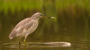 Squacco Heron catching a fish Royalty Free Stock Images
