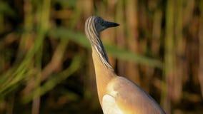 Squacco Heron Ardeola ralloides close up, portrait, calm stock footage