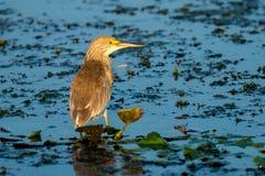 Squacco Heron Ardeola ralloides in Danube Delta, Romania. Wildlife artistic photography in Danube Delta Europe Romania stock photography