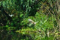Squacco Heron, Ardeola ralloides flying royalty free stock image