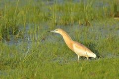 Squacco heron Ardeola ralloides Stock Photography