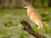 Squacco Heron Ardeola Ralloides On A Branch With Natural Water Lily Background At Sunset Royalty Free Stock Images
