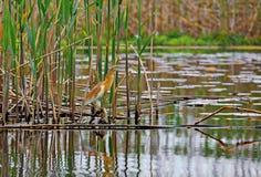 Squacco heron, Ardeola ralloides Royalty Free Stock Photo