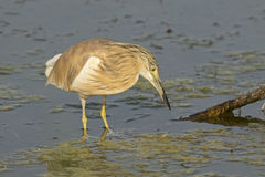 Squacco Heron Royalty Free Stock Images