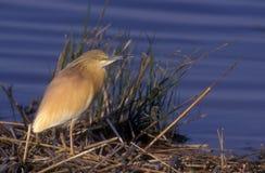 Squacco heron, Ardeola ralloides Royalty Free Stock Photos