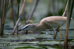 Squacco heron, Ardeola ralloides Royalty Free Stock Images