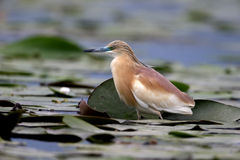 Squacco heron, Ardeola ralloides Royalty Free Stock Photos
