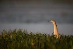 Squacco heron, Ardeola ralloides Stock Image