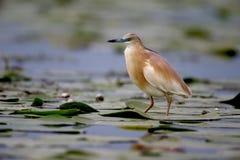 Squacco heron, Ardeola ralloides Stock Photos