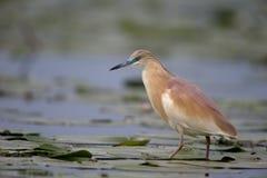 Squacco heron, Ardeola ralloides Royalty Free Stock Photography