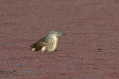Squacco heron, Ardeola ralloides Stock Images