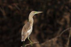 Squacco Heron (Ardeola ralloides) Stock Photos