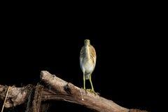Squacco Heron (Ardeola ralloides) Stock Image