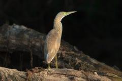 Squacco Heron (Ardeola ralloides) Royalty Free Stock Photography