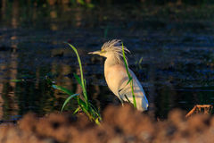 Squacco Heron Ardeola ralloides Royalty Free Stock Photo