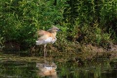 Squacco Heron (Ardeola ralloides) Stock Photography