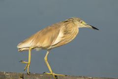 Squacco Heron Royalty Free Stock Photo