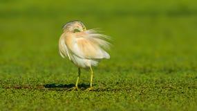 Squacco Heron - Ardeola ralloides Stock Photos