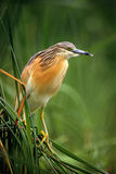 Squacco Heron, Ardeola ralloides, yellow water bird in the nature water green grass nature habitat, Hungary Stock Photos