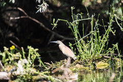 Squacco heron bird Stock Photography