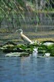 Squacco Heron bird fishing Royalty Free Stock Photos