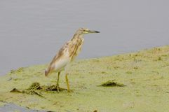 Squacco heron. In the bird paradise in Turkey Royalty Free Stock Photos