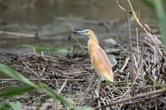 A squacco heron in breeding plumage. Stands on a grey reed Stock Image