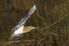 Squacco Heron captured in full flight Royalty Free Stock Photo